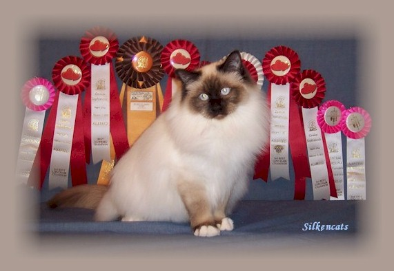 Birman with show rosettes