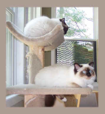 Birmans resting on cat trees